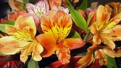 Alstroemeria , commonly called the Peruvian lily or lily of the Incas, is a genus of flowering plants in the family Alstroemeriaceae. They are all native to . Long Stem Flowers, Growing Flowers, Growing Plants, Planting Flowers, Flowering Plants, Potted Plants, Fruit Trees, Trees To Plant, Alstroemeria Plants