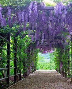 For Arches And Pergolas Types of Plants for Arches and Pergolas.another plant I want, Wisteria, over pergola - MariTypes of Plants for Arches and Pergolas.another plant I want, Wisteria, over pergola - Mari