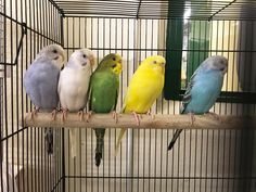 Coconut A413357, Kiwi A413355, Squash A413358, Blueberry A413356, & Pepper A413354 and Zommen A413129  Good things come in small packages! Animal Care & Control San Francisco has 6 beautiful and lively parakeets ready for forever homes. Come meet them all -- a wonderful variety of colors.