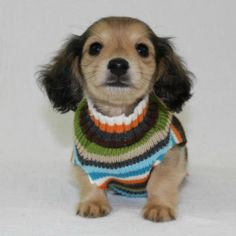 Looking sweet in a sweater! Precious little long haired dachshund puppy!!