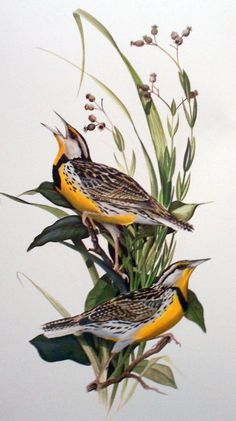 This piece is printed on demand (POD) and might take up to two weeks to ship. C. Ford Riley is a Featured Artist here at Seven North Art. Click here to see all of his work. Click here to read his biography Vintage Bird Illustration, Botanical Illustration, Illustration Art, Realistic Animal Drawings, Bird Drawings, Cut Out Art, Nature Artists, Bird Artwork, Botanical Drawings