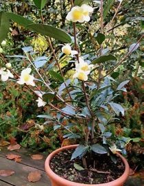 How to grow real Tea plants (Camellia sinensis) in Pot
