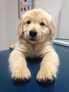 "Excellent ""golden retriever puppies"" info is readily available on our site. Little Puppies, Cute Puppies, Cute Dogs, Dogs And Puppies, Doggies, Retriever Puppy, Dogs Golden Retriever, Golden Retrievers, Animals And Pets"