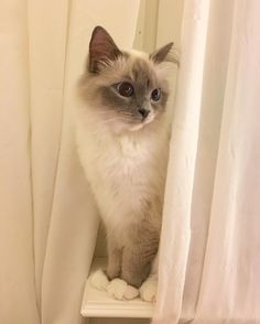 Don't tell #popcorn #poppylove  where I am #minivaniljer #mazarin #birma #birman #breeder #catsofinstagram #chokladochvanilj #pinkalicious #welovecats #we_love_cats #excellent_cats #bestcats_oftheworld #birmavanner