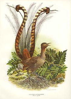 Famous Bird Prints | Antique print: picture of Lyre Bird or Superb Lyre Bird (Menura superb ...