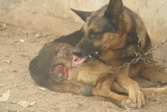 Boycott GREECE!  Animal Welfare laws being ignored and animals left to suffer everywhere or tortured to death! 10501979_1546781245555274_6780246673526857252_n