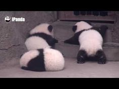 Giant panda punches another panda hardly off the boxing ring - YouTube