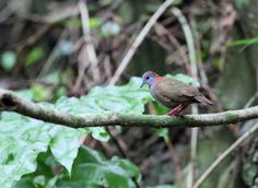 2610. Palau Ground Dove (Alopecoenas canifrons) | endemic to Palau, living in forests