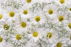 Chryzantemy, Białe, Kwiaty, Gipsówka, Tekstura