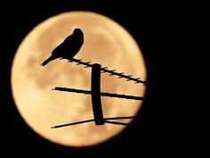 A birds stands on an antenna as the moon sets in Rome.