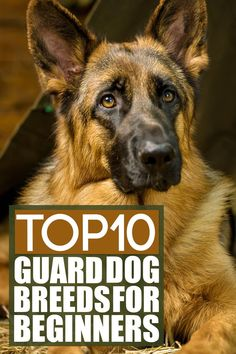 So, you are interested in getting a guard dog who will keep you and your home safe. Perfect!  But let's say you've never had a dog before, and you feel a bit unsure whether or not you can handle a large, powerful guardian breed. Worry not: In this video, I'm going to give you an overview of the TOP 10 guard dog breeds for beginners. German Dog Breeds, Giant Dog Breeds, Giant Dogs, Large Dog Breeds, Large Dogs, Best Guard Dog Breeds, Best Guard Dogs, Mastiff Dog Breeds, Caucasian Shepherd Dog