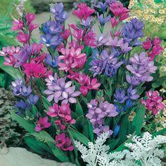 Babiana stricta | Vertical Garden Potential | freesia with dark green foliage creates a neat fan like clump | Full sun | 20x7cm | Mid season Flowering