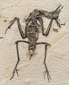 "Yanornis martini is a primitive member of the ornithuromorph lineage, the group that includes all living birds. Overall, ornithuromorph fossils reveal features that are better suited for a terrestrial or semiaquatic lifestyle rather than arboreal living, such as a larger size and lack of perching adaptations. Photo by Stephanie Abramowicz, from ""Birds of Stone"""