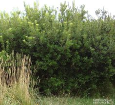 Ceanothus Blue Pacific An evergreen tall shrub with dark ...