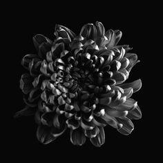 black and white dark darkness Flowers light Macro Photography may sarton monochrome Nature textures Macro Photography, Flower Photography, Photography Ideas, Flower Lights, Monochrome, Black And White, Darkness, Nature, Plants