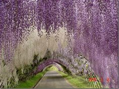 Kawachi Fuji Gardens, in Kitakyushu, Japan -- someday I want to visit Japan, and I'd love to time it to see these in bloom!