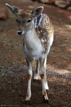We need this guy at the wedding. And his brothers and sisters. Fallow Deer.