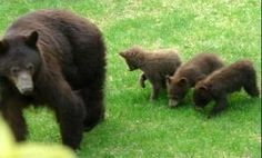 Mother bear and her three cubs.