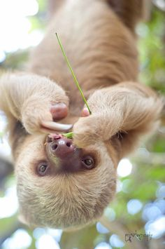 Sloths are the slowest mammals in the world 💙💖💛💙💖💛