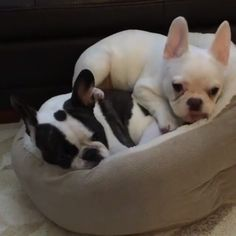 Cooper and friend, French Bulldog Puppies @cooper_the_frenchie . . . #frenchie…