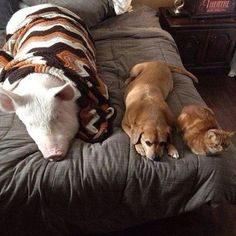 This Little Piglet Grew Into A Huge, Adorable Piggie Pal.