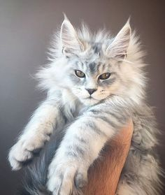 18 Maine Coon Kittens Waiting To Grow Up Into Giants Unser Schneetiger Waldkatze Pretty Cats, Beautiful Cats, Animals Beautiful, Cute Animals, Baby Animals, Animals Images, Funny Animals, Gato Maine, Maine Coon Kittens