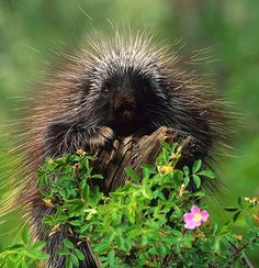 21 best Porcupines images on Pinterest | Wild animals, Animals and ...