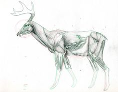 Deer_Muscle_Study_by_UnamedKing.jpg (900×709)