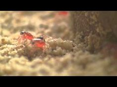 Christmas Island National Park - Baby red crabs emerging from the ocean