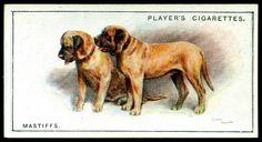 Cigarette Card - Mastiffs