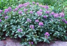 """DEAD NETTLE, 'ANNE GREENAWAY' (Lamium maculatum) Perennial; Ht: 6""""-8"""" Color: Pink blooms Light: Shade. Spread: 12"""" Bloom Period: Spring-Summer Soil: Moist Well Drained. Striking low, ground cover type perennial with leaves having appearance of being painted over with silvery-white coloring. Highly variegated foliage is used to brighten dark shady areas. Tends to be evergreen once established. Other great varieties include: 'Ghost', and 'White Nancy'."""