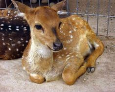 Rescued Three-Legged Deer Runs Happy and Free at Wildlife Sanctuary (VIDEO)