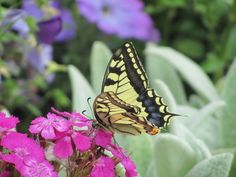 Garofani del poeta con farfalla♥