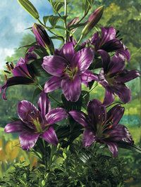 Purple Prince Giant Hybrid LilyThese fragrant Lilies are a perfect cross between Oriental and Trumpet Lilies. Oriental Lilies are known for their fragrance, colour and size. Trumpets are unique for their trumpet-like flowers and their ability to naturalize. 'Purple Prince' is a rare shade of deep lavender accented with a green throat. Bulb size 14-16 cm in circumference.