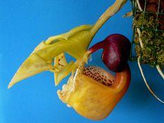 Coryanthes boyi