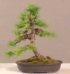 Bonsai - Alerce europeo