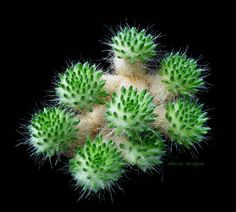 Tephrocactus malayana and its FEARSOME glochids