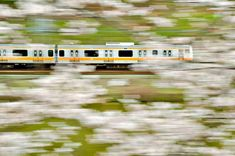 How to Spend 48 Hours in Tokyo with Kids - Japan Family Travel Chuo line train hanami cherry blossoms sakura