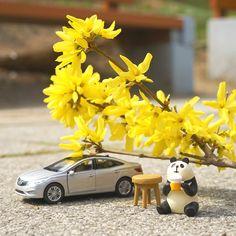 #봄 이 다 지나기 전에 #그랜저 #다이캐스트 와 함께 #나들이 를 떠나요  Go on a #picnic with #Grandeur ( #Azera ) #diecast before this #spring is #over  #Hyundai #Motor #car #diecast #toy #panda #forsythia #date #travelling #daily #현대자동차 #개나리 #장난감 #판다 #자동차 #창덕궁 #데이트 #일상 #데일리 #자동차그램 #소소잼