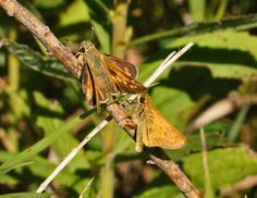 Atalopedes campestris (Hesperiidae) 08/12, Pepin Co.