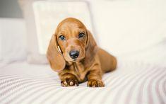 Télécharger fonds d'écran le teckel, le petit chiot, animaux, brun, petit chien, animaux mignons, brun chiot