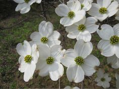 cornus florida 'appalachian joy' | Cornus florida: The beautiful white flowers of 'Appalachian Joy' Flowering Dogwood appear in April and May, and have extra bracts to add to their uniqueness. The foliage is highly resistant to powdery mildew. The bright red fall fruit and purple-red leaves add to its seasonal interest. A long-awaited introduction from the University of Tennessee. Height:30 Feet  Spread:25 Feet Bloom Color:White