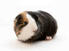 ZSA ZSA is an adoptable guinea pig searching for a forever family near San Francisco, CA. Use Petfinder to find adoptable pets in your area.