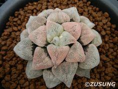 https://flic.kr/p/eRLUBn | Haworthia pygmaea 'Powder Snow' | One of the top class pygmaea cultivar.