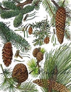 Okaspuud. Pine Trees, Cones, and Needles 1975 Barbara Nicholson Botanical Lithograph ... in my shop now!