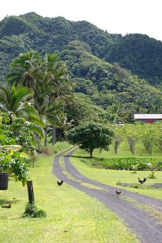ISLAS COOK - Rarotonga, Titikaveka | A side road on the south side of Rarotonga, leading through taro fields and fruit orchards.