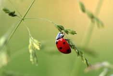 I miss seeing Ladybirds in the garden. So where have the Ladybirds gone? Do you remember the Ladybird/Ladybug nursery rhyme from when you were a child? What do you call them - Ladybug, Ladybird or Lady Beetle? Swedish Language, Japanese Beetles, Beneficial Insects, Close Up Photos, Stuffed Animal Patterns, Pest Control, Free Stock Photos, June Bug, Butterflies
