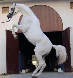 Love Arabians!                                                       …