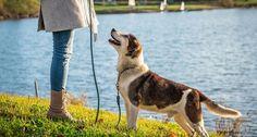8 month puppy biting #dogtrainingcourse Police Dog Training, Therapy Dog Training, Agility Training For Dogs, Basic Dog Training, Leash Training, Petsmart Dog Training, Stop Dog Barking, Puppy Biting, Best Puppies