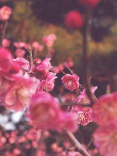 Ume blossoms 梅